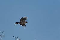 Black-throated Sparrow, San Angelo State Park, Texas