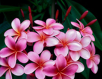 Plumeria (plumeria rubra). Maui Enchanting Gardens. Maui, Hawaii.