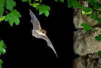 Common Bent-wing Bat or Schreibers' Long-fingered Bat (Miniopterus schreibersii) in flight, North Bulgaria, Bulgaria, Europe