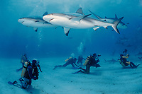 divers with Caribbean reef sharks, Carcharhinus perezii, and blacktip sharks at Shark Rodeo, Walker's Cay, Bahamas, Caribbean Sea, Atlantic Ocean