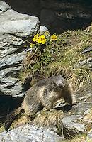 Alpen-Murmeltier, Alpenmurmeltier, Murmeltier, Marmota marmota, alpine marmot
