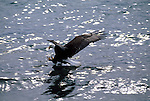 A bald eagle swoops down with talons extended to catch a fish in Southeast Alaska.