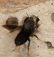 Schwarze Mörtelbiene, an ihren Brutzellen aus Sand, Lehm und Steinchen, Megachile parietina, Chalicodoma parietinum, Chalicoderma muraria, wall bee, mason bee, Mortar bee