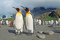 king penguins, Aptenodytes patagonicus, colony, Gold Harbour South Georgia Island, sub-Antarctica