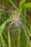 Wespenspinne, Zebraspinne, Argiope bruennichi, Spinne in ihrem Netz mit Beute, Unterseite, black-and-yellow argiope, black-and-yellow garden spider