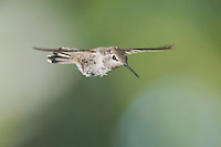 Female Anna's hummingbird, Calypte anna. Alameda County, California
