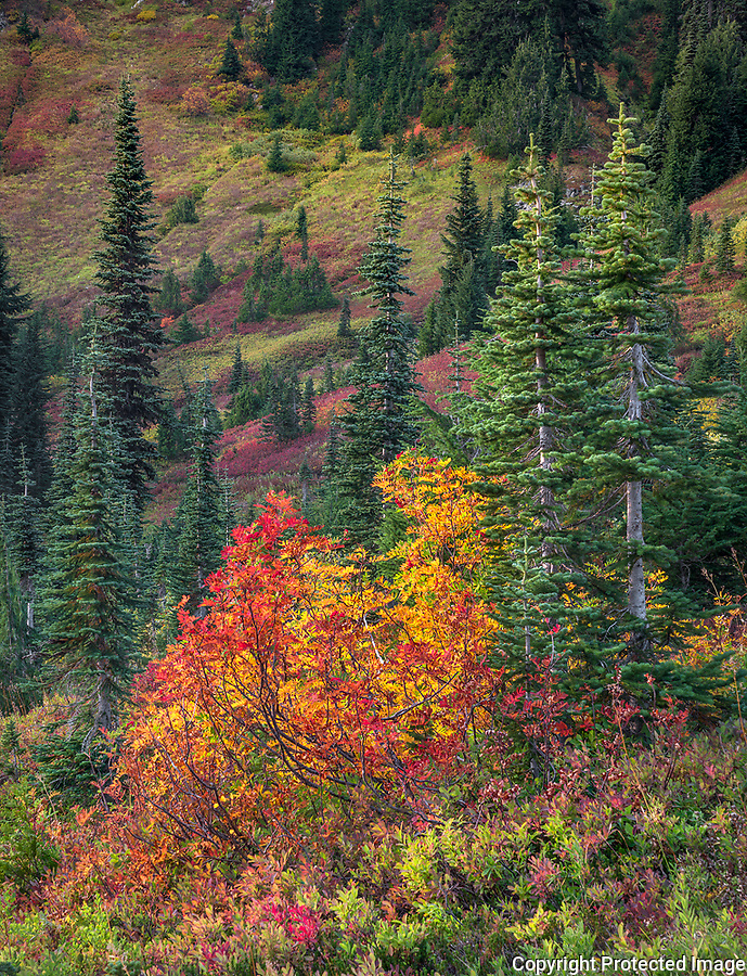Mount Rainier Natinonal Park, Washington: Mountain ash in fall color with alpine forest near Paradise