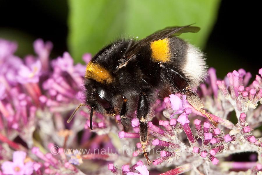 Dunkle Erdhummel, Bombus terrestris, Nektarsuche, Blütenbesuch, Blütenbestäubung an Schmetterlingsflieder, Buddleja, Sommerflieder, buff-tailed bumble bee
