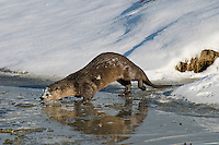 Northern River Otter (Lontra canadensis) along edge of icy river.  Western U.S., winter.