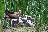 Rohrweihe, Rohr-Weihe, Küken am Nest, Horst, Bodennest, Weihe, Weihen, Circus aeruginosus, Western Marsh-harrier, Eurasian Marsh-harrier, Marsh harrier