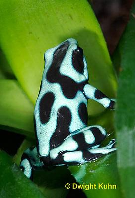FR24-508z  Green and Black Poison Arrow Frog,  .Dendrobates auratus, Central America
