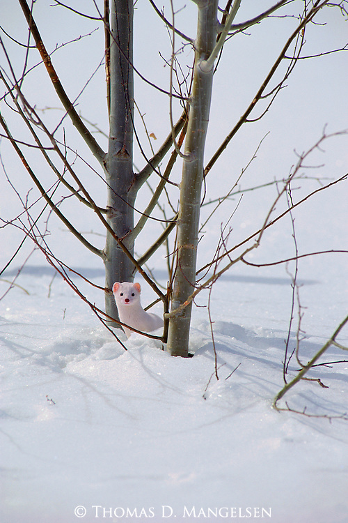 Ermine stands near a tree in the snow in Grand Teton National Park, Wyoming.