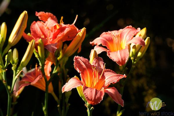 Pamela Paulhamus's Perennial flower garden in late June. Cogan Station, PA. Orange lily.