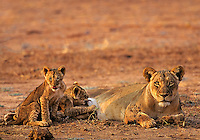 African lioness or female african lion (Panthera leo) with young cubs, Matusadona National Park, Zimbabwe.