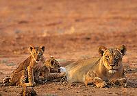 African lioness or female african lion (Panthera leo) with young cubs, Matusadona National Park, Zimbabwe.
