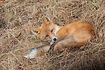 A red fox lays in brown grass in Denali National Park, Alaska.