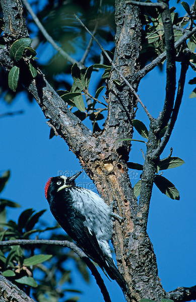 Acorn Woodpecker, Melanerpes formicivorus, adult at sap well, Madera Canyon, Arizona, USA, January 1995