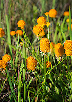 Candy Weed, Polygala lutea
