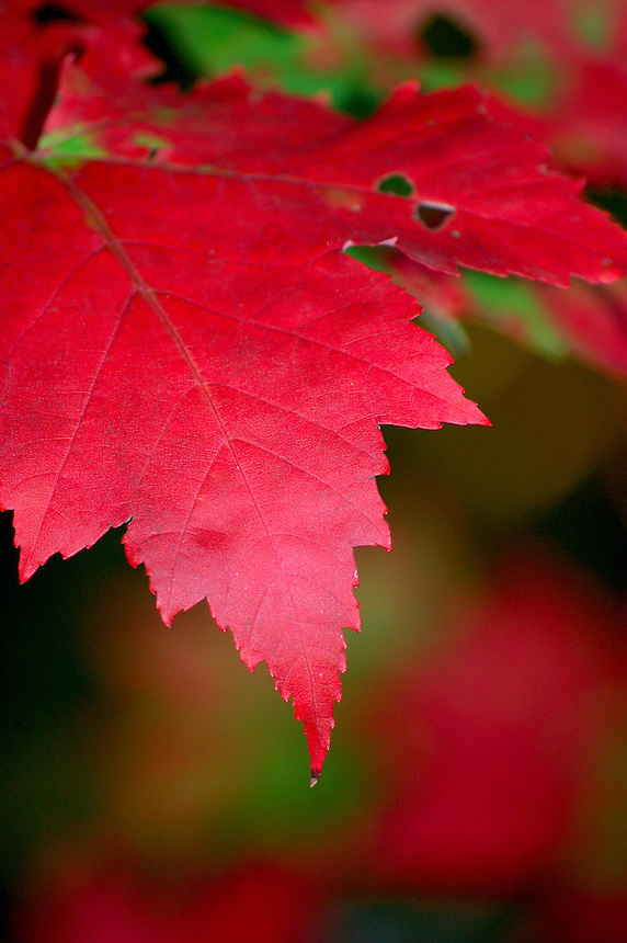A beautiful detailed image of a red maple leaf.