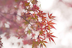 Beautiful artistic closeup of Japanese maple, Acer palmatum, red leaves in autumn mist on white foggy background, Kyoto, Japan Image © MaximImages, License at https://www.maximimages.com
