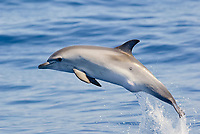 Femal calf of Atlantic spotted dolphin (Stenella frontalis) leaping, showing an unusual bump in the genital area. La Gomera, Canary Islands, North Atlantic.