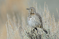 Sage Thrasher (Oreoscoptes montanus). Sublette County, Wyoming. April.