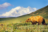 Grizzly bear walks across the summer tundra with Denali in the distance,  Denali National Park, Alaska,
