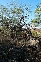A koa'i tree on the slopes of Haleakala on Maui.