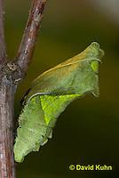 "1021-0802  Polydamas swallowtail Chrysalis ""Green Variation"" (Life Cycle Series), Battus polydamus  © David Kuhn/Dwight Kuhn Photography."