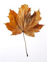 Fallen Autumn Leaf - Brightly coloured laeves.