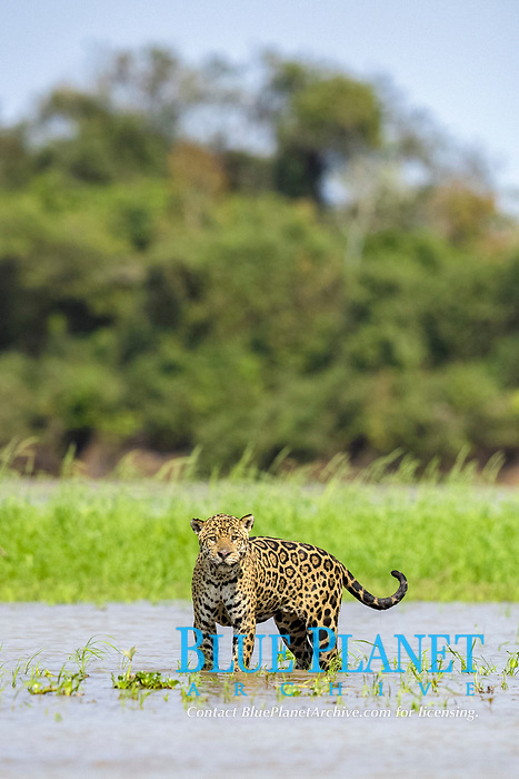 Jaguar (Panthera onca palustris) adult, standing in water, Cuiaba River, Mato Grosso, Brazil, South America
