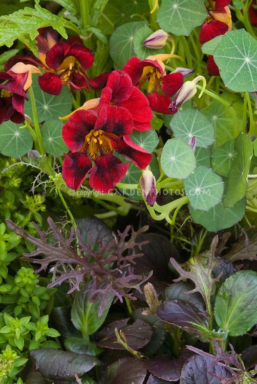 Black velvet Nasturtium flowers aka Tom Thumb Black Velvet Tropaeoleum, dwarf