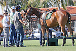 WELLINGTON, FL - FEBRUARY 19:  Polo ponies waiting to rotate into the match. Scenes from the Ylvisaker Cup Final as Coca Cola 9 defeats Tonkawa 8 in overtime with a Golden Goal on a Penalty 2 by Julio Arellano, in the William Ylvisaker Cup Final, at the International Polo Club, Palm Beach on February 19, 2017 in Wellington, Florida. (Photo by Liz Lamont/Eclipse Sportswire/Getty Images)