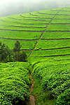 Tea plantations in fog, northwest Rwanda