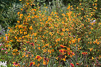 Orange flower sticky Monkey Flower (Mimulus aurantiacus) California native plant in drought tolerant garden; Torgovitsky