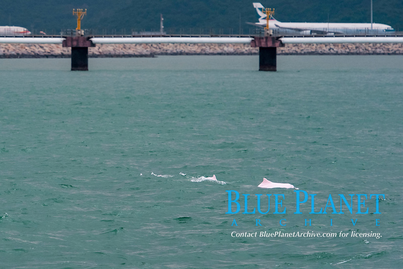 Chinese white dolphin or Indo-Pacific Ocean humpback dolphin, Sousa chinensis, surfacing at the site of the 3rd runway in front of Hong Kong International Airport, Hong Kong, Pearl River Delta