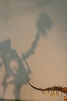 Mongolia  Ulan Bator (Ulan Bataar) Museo di Scienze Naturali Dinosauri e fossili Scheletro di Ingenia Yanshini Epoca Cretaceo Mongolie Oulan-Bator (Oulan-Bator) Musée d'Histoire Naturelle de dinosaures et des fossiles Skeleton Ingenia Yanshini Période Crétacé Ulaanbaatar (Ulan Baatar) Natural History Museum Dinosaurs and Fossils Skeleton Ingenia Yanshini Cretaceous Period