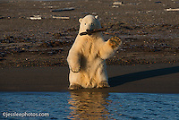 Polar bear playing with a stick while waiting for the water to freeze on the Beaufort Sea in Alaska. Alaska Polar Bear Photography Prints