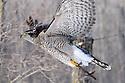 00432-029.12 Falconry: Close-up goshawh in flight shows jesses worn by trained birds of prey.  Hunt, raptor, prey, predator.