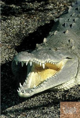 Crocodiles smiles