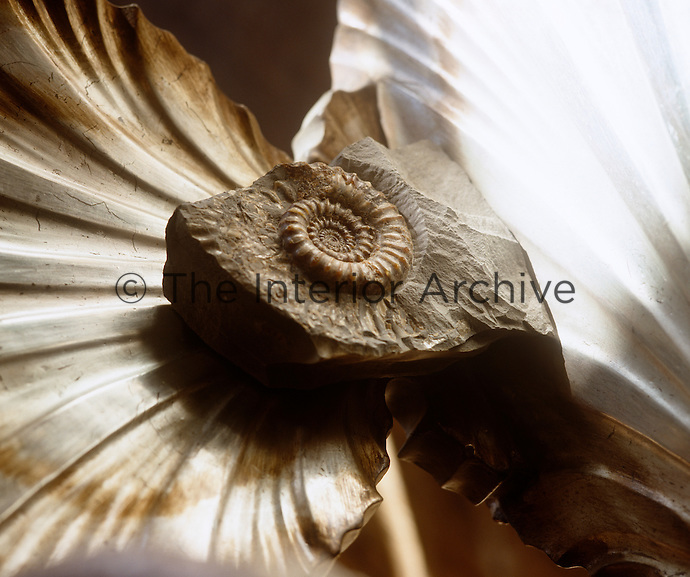 Detail of an ammonite