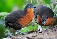 Dark-backed wood-quail pair