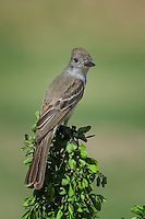 Brown-crested Flycatcher, Laguna Seca Ranch, Edinburg, TX