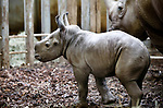 Foto: VidiPhoto<br /> <br /> ARNHEM – Burgers' Zoo in Arnhem heeft er een breedlipneushoorntje bij. Het is een mannetje met de naam Douwe. Dat heeft het park dinsdag bekend gemaakt. Het jong is zondag geboren. Douwe is het vierde jong van moeder Izala. Het Arnhemse dierenpark is bijzonder succesvol met de fok van breedlipneushoorns en staat al enkele jaren in de Europese top vijf op dit gebied. Het 17-jarige neushoornvrouwtje dat op 4 april om 7:44 uur haar jong ter wereld bracht, is inmiddels een ervaren moeder. De geboorte verliep voorspoedig. Burgers' Zoo staat al enkele jaren stevig in de top vijf van Europa qua succesvolle fokresultaten met breedlipneushoorns. Serengeti-Park Hodenhagen (Duitsland), Knowsley Safari Park (Engeland), ZSL Whipsnade Zoo (Engeland) en Safaripark Beekse Bergen complementeren het kwintet. Jaarlijks worden er in alle 84 dierenparken in Europa met breedlipneushoorns slechts tussen de tien en vijftien dieren in totaal geboren. De breedlipneushoorn komt voor in Zuidelijk en Oost-Afrika en is een bedreigde diersoort.