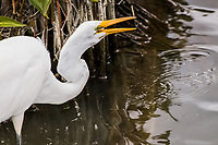 In the midst of feeding, a Great egret is caught with its bill open along the edge of a pond at a neighborhood park.