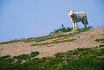 Arctic wolf, Yellowknife region, Northwest Territories, Canada