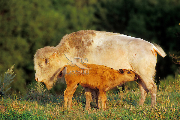 American Bison cow (albino) nursing calf.   National Buffalo Museum, Jamestown, North Dakota.