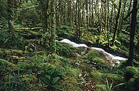 Very beautiful, heavily moss cloaked bush with a creek near Taipo Hut on the Wangapeka Track - Kahurangi National Park