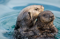 Southern Sea Otter mom holding pup.  Central California.
