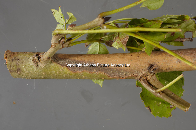 """Pictured: Symptoms of Chalara ash dieback. A fungal disease affecting the ash trees of Europe. Picture shows a diamond-shaped lesion on a branch of a tree.<br /> Re: Millions of diseased trees near buildings, roads and railways will have to be cut down because of a deadly fungus which is spreading through the ash trees  in the UK, a lot quicker than anticipated.<br /> Natural Resources Wales (NRW) warned of a """"very significant impact"""" on the landscape and the Welsh government is setting up an expert group to advise on the issue.<br /> Wales has been particularly affected by the spread of ash dieback, which was first identified in the UK in 2012<br /> Its proper name is Chalara dieback, named after a fungus called Chalara fraxinea<br /> Symptoms include lesions at the base of dead side shoots, wilting and lost leaves and a killing off of new growth on mature trees<br /> The disease is spread by released spores and has swept across Europe over the past 20 years, affecting about 70% of ash in woodland<br /> Ash is an important species for nesting birds, insects and fungus<br /> It does not pose a risk to human or animal health"""